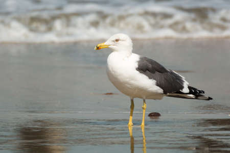 larus: A Lesser Black-Backed Gull (Larus fuscus) standing in the surf Stock Photo
