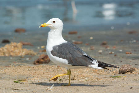 A Lesser Black-Backed Gull (Larus fuscus) stepping on the beach photo