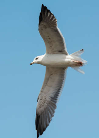 A Young Lesser Black-Backed Gull (Larus fuscus) in flight photo