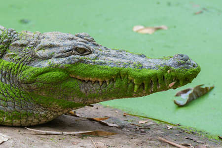 crocodylus: A head shot of a West African Crocodile  Crocodylus suchus  covered with duck weed