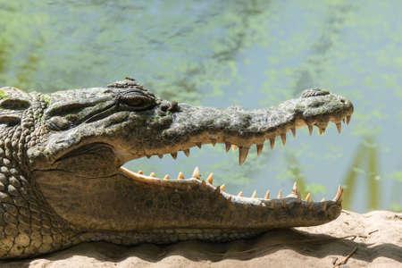 chad: A West African Crocodile  Crocodylus suchus  with a leech near his eye