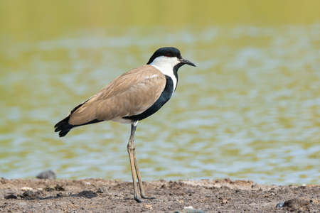 vanellus spinosus: A Spur-Winged Plover  Vanellus Spinosus  standing on the shore