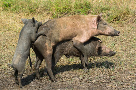 A small male pig trying to get in on the strange role reversal action Stock Photo