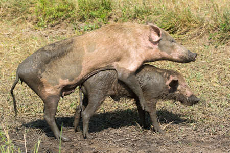 Small male pig being shown the ropes by a larger female in a role reversal scenario Stock Photo - 25759618