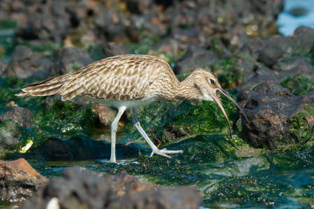 swallowing: A Whimbrel  Numenius Phaeopus  swallowing a small white crab