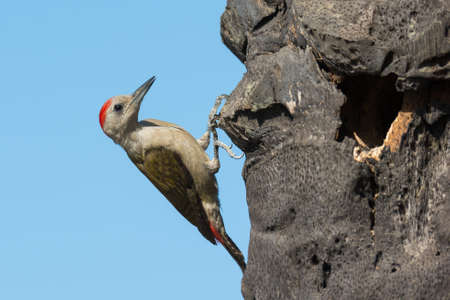 clinging: A male Grey Woodpecker  Mesopicos goertae  clinging to a palm beside his nest hole