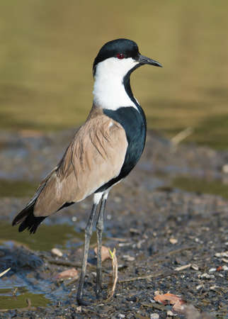 vanellus spinosus: A Spur-Winged Plover  Vanellus Spinosus  momentarily bobbing for a better view