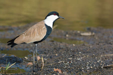 A Spur-Winged Plover  Vanellus Spinosus  cocking his head on the shore Stock Photo