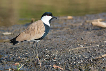A Spur-Winged Plover  Vanellus Spinosus  standing on the shore