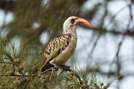 ironwood: A young Western Red-Billed Hornbill  Tockus erythrorhynchus  perched on an ironwood branch Stock Photo