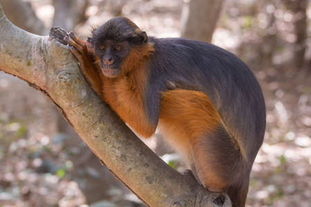 A Western Red Colobus Monkey  Piliocolobus badius  in a unique resting position