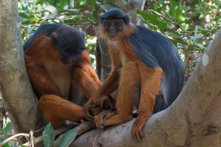 forlorn: A female Western Red Colobus Monkey  Piliocolobus badius  holding hands with sleeping male Stock Photo