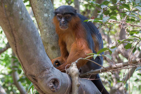 forlorn: A large male Western Red Colobus Monkey  Piliocolobus badius  in a tree