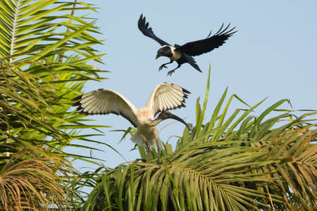 attacked: A Sacred Ibis  Threskiornis aethiopicus  in a palm being harrassed by a Pied Crow