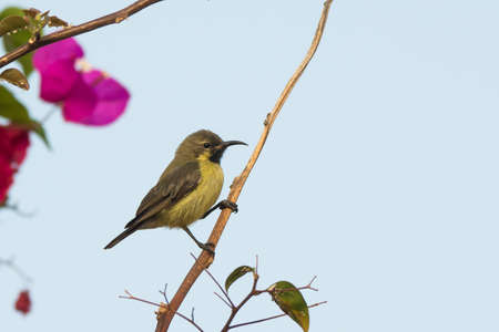 A Female Beautiful Sunbird  Nectarinia pulchella  perched near Bougainvillea flowers photo
