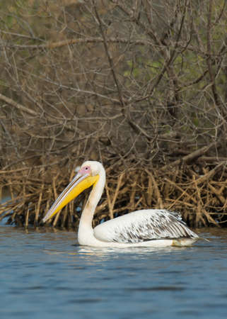 A Great White Pelican  Pelecanus onocrotalus  floating in the mangroves photo