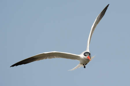 A Caspian Tern  Sterna Caspia  in flight looking for fish