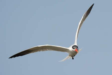 A Caspian Tern  Sterna Caspia  in flight looking for fish