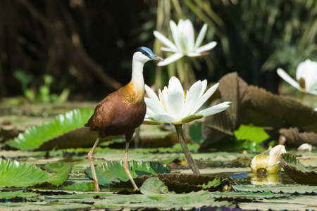 jacana: An African Jacana  Actophilornis africanus  standing beside white lily flowers