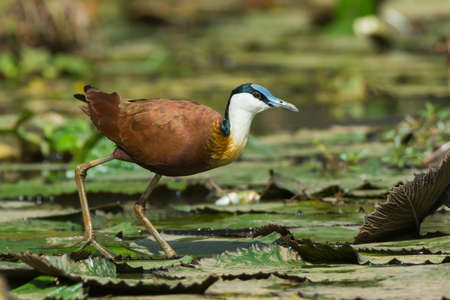 jacana: An African Jacana  Actophilornis africanus  standing on lily pads Stock Photo