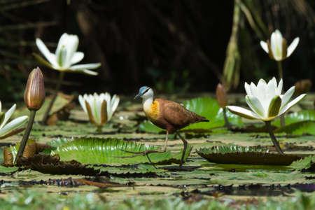 jacana: An African Jacana  Actophilornis africanus  walking across a lily pad strewn pond Stock Photo