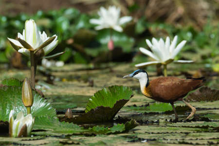 jacana: An African Jacana  Actophilornis africanus  walking on lily pads with white lilies