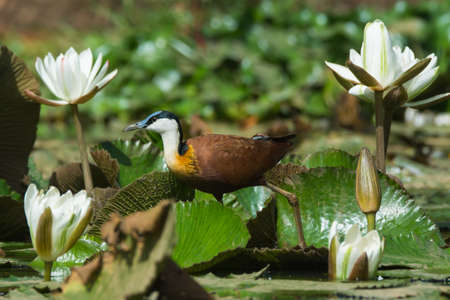 jacana: An African Jacana  Actophilornis africanus  walking through lily pads and white lilies Stock Photo