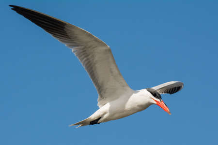 A Caspian Tern  Sterna Caspia  flying in a blue sky