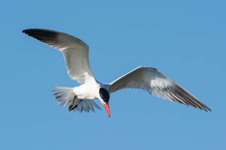 A Caspian Tern  Sterna Caspia  hovering in a blue sky