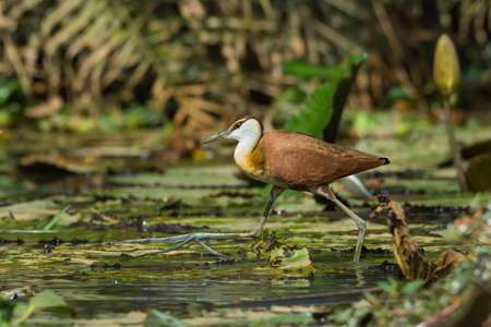 jacana: A young African Jacana  Actophilornis africanus  in full stride Stock Photo