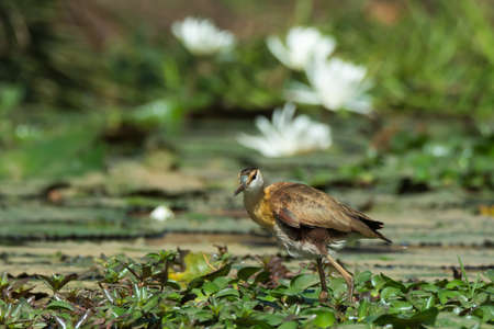 jacana: A young African Jacana  Actophilornis africanus  infront of white lily flowers Stock Photo