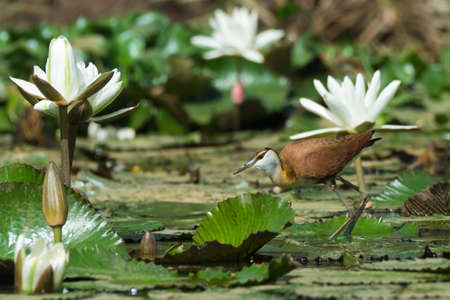 jacana: A young African Jacana  Actophilornis africanus  standing amongst lily pads and flowers Stock Photo