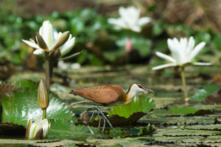 jacana: A young African Jacana  Actophilornis africanus  walking across a lily pad strewn pond Stock Photo