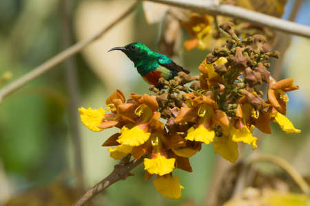 A male Beautiful Sunbird  Nectarinia pulchella  perched on a cluster of yellow flowers