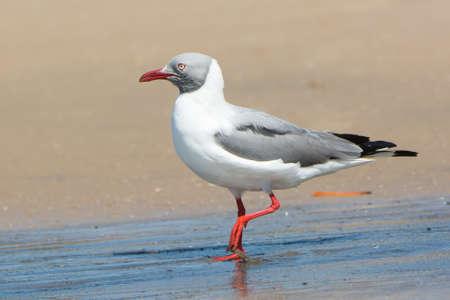 larus: A Grey-Headed Gull  Larus cirrocephalus  in flight