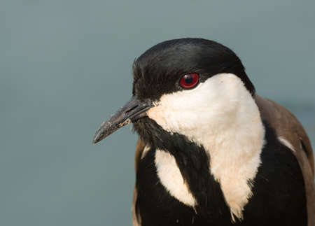 vanellus spinosus: A portrait of a Spur-Winged Plover  Vanellus Spinosus
