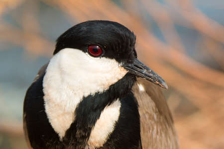 A portrait of a Spur-Winged Plover  Vanellus Spinosus