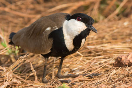 vanellus spinosus: A Spur-Winged Plover  Vanellus Spinosus  kneeling with its head cocked up