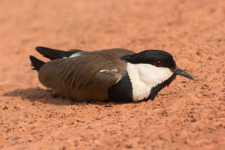 A Spur-Winged Plover  Vanellus Spinosus  lying on the road