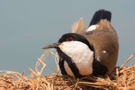 A Spur-Winged Plover  Vanellus Spinosus  resting with its head cocked up