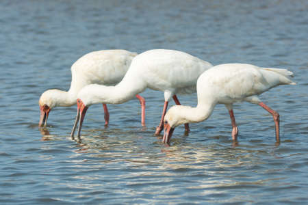 unison: Three African Spoonbills (Platalea alba) searching for food in unison