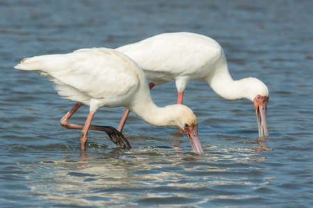 unison: Two African Spoonbills (Platalea alba) searching for food in unison Stock Photo