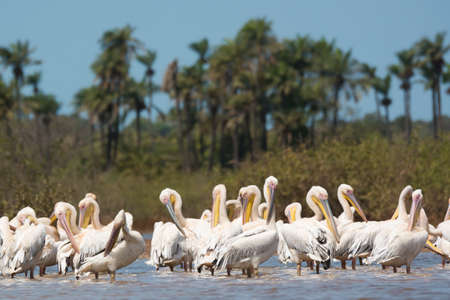 A group Great White Pelicans (Pelecanus onocrotalus) standing in water preening photo