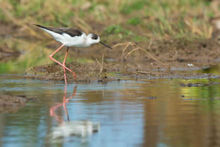 himantopus: A Black-winged Stilt  Himantopus himantopus  wading on the shore Stock Photo