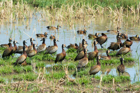 A flock of White-faced Whistling Ducks  Dendrocygna viduata  resting at a pond photo