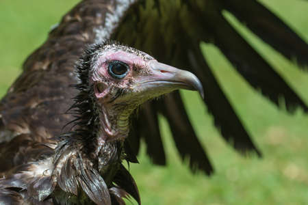 bedraggled: A close up of an extremely wet Hooded Vulture  Necrosyrtes manachus  with its wings wide open Stock Photo