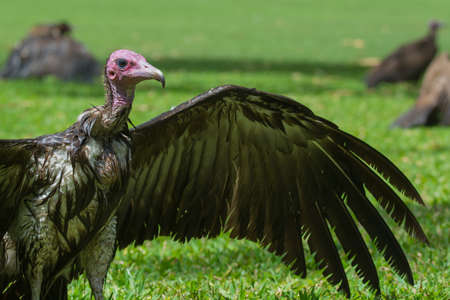 A wet Hooded Vulture  Necrosyrtes manachus  drying its wings in the sun