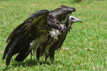 bedraggled: An extremely wet Hooded Vulture  Necrosyrtes manachus  drying in the sun
