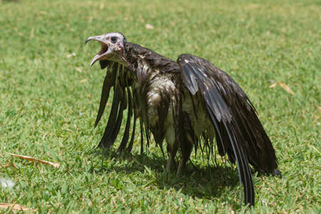 bedraggled: An extremely wet Hooded Vulture  Necrosyrtes manachus  with its mouth wide open