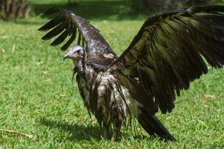 bedraggled: An extremely wet Hooded Vulture  Necrosyrtes manachus  with its wings wide open Stock Photo